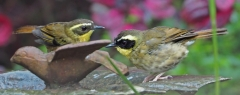 Yellow-throated Scrubwren (Image ID 36583)