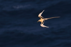White-tailed Tropicbird (Image ID 36604)