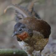 Albert's Lyrebird (Image ID 36505)