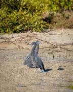 Eastern Reef Egret (Image ID 36537)