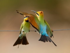 Rainbow Bee-eater (Image ID 36529)
