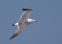 Black-tailed Gull (Image ID 36492)
