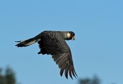 Baudin's Black-Cockatoo (Image ID 36658)