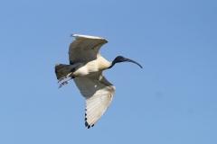 Australian White Ibis (Image ID 36543)