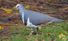 Wonga Pigeon (Image ID 36609)