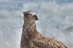 Pacific Gull (Image ID 36585)