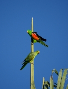 Red-winged Parrot (Image ID 36554)