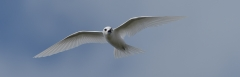 White Tern (Image ID 36644)