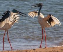 Black-necked Stork (Image ID 36567)
