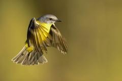 Eastern Yellow Robin (Image ID 36515)