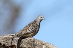 Peaceful Dove (Image ID 36523)
