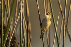 Australian Reed-Warbler (Image ID 36440)