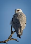 Black-shouldered Kite (Image ID 36651)