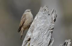 Brown Treecreeper (Image ID 36520)