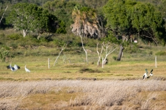 Black-necked Stork (Image ID 36535)