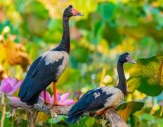 Magpie Goose (Image ID 36640)