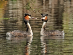 Great Crested Grebe (Image ID 36825)