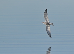 Whiskered Tern (Image ID 37009)