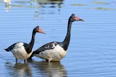 Magpie Goose (Image ID 36923)