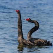 Black Swan (Image ID 36922)