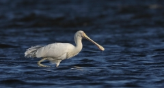 Yellow-billed Spoonbill (Image ID 36700)