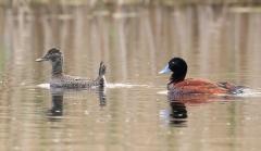 Blue-billed Duck (Image ID 36933)
