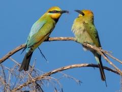Rainbow Bee-eater (Image ID 36902)