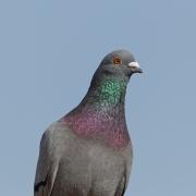 Rock Dove (Image ID 36792)