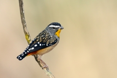 Spotted Pardalote (Image ID 36699)