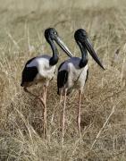 Black-necked Stork (Image ID 36857)