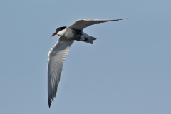 Whiskered Tern (Image ID 36959)