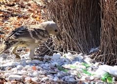 Great Bowerbird (Image ID 36778)