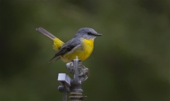 Eastern Yellow Robin (Image ID 36811)