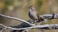Southern Scrub-robin (Image ID 36765)