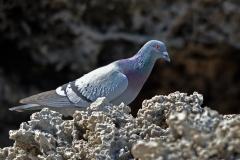 Rock Dove (Image ID 36941)