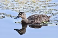 Pacific Black Duck (Image ID 36809)