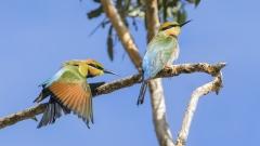 Rainbow Bee-eater (Image ID 36684)