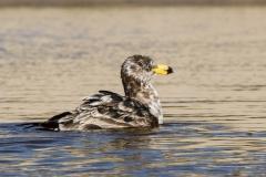Pacific Gull (Image ID 36727)