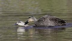 Pacific Black Duck (Image ID 36852)