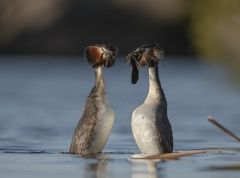 Great Crested Grebe (Image ID 36873)