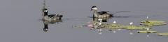 Green Pygmy-goose (Image ID 36856)