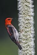 Scarlet Honeyeater (Image ID 36719)