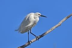 Little Egret (Image ID 36834)