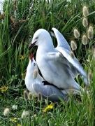 Silver Gull (Image ID 36714)