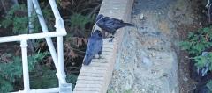 Australian Raven (Image ID 36790)