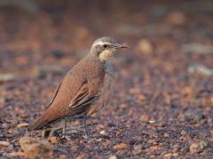 Chestnut-breasted Quail-thrush (Image ID 36842)