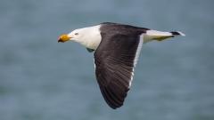 Pacific Gull (Image ID 36785)