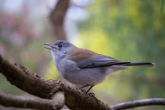 Grey Shrike-thrush (Image ID 37028)