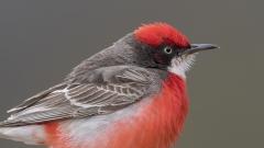 Crimson Chat (Image ID 36766)