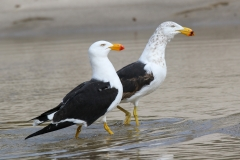 Pacific Gull (Image ID 36728)